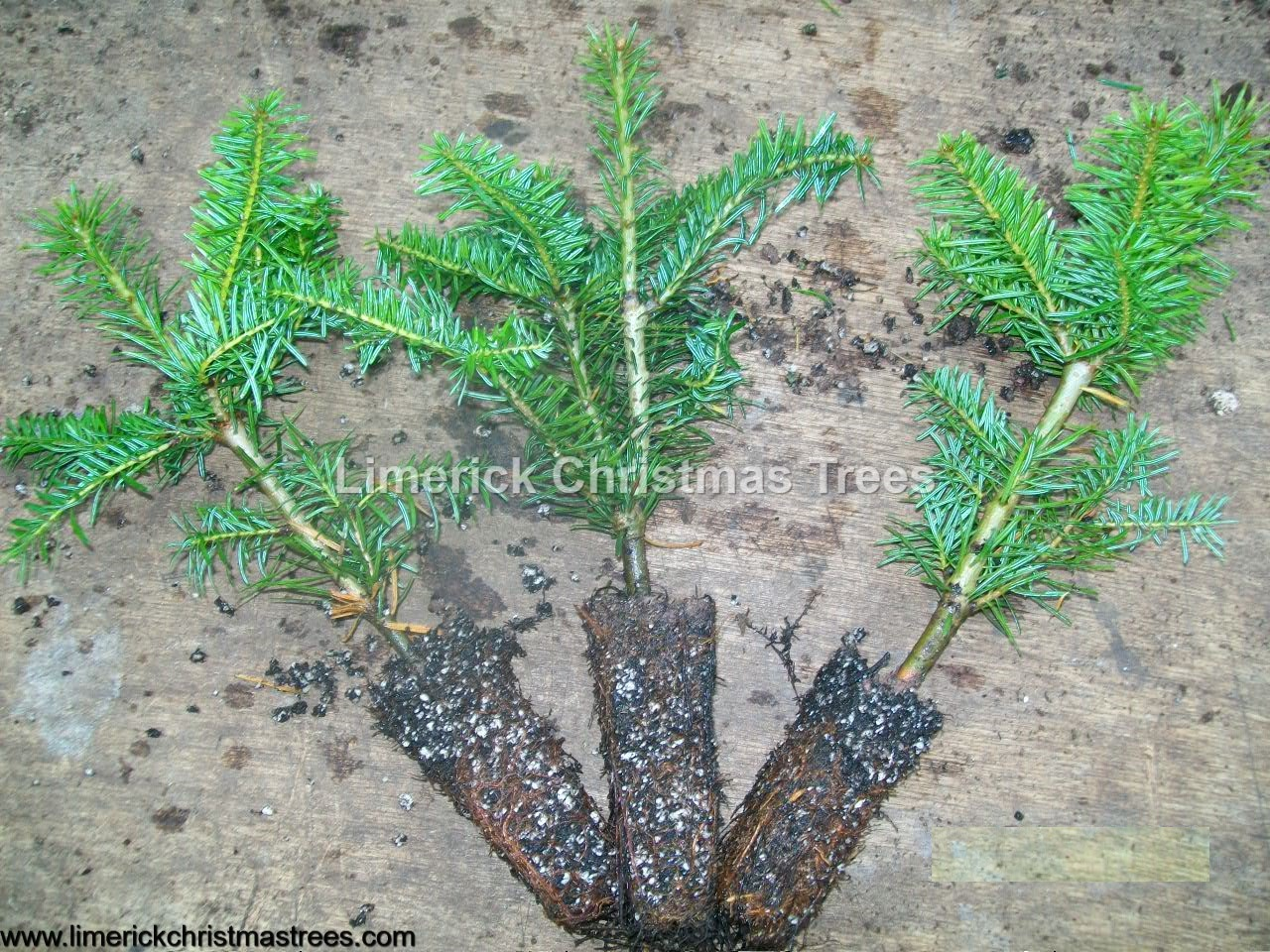 Christmas Tree Growers Facts