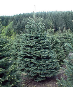 Noble fir branches