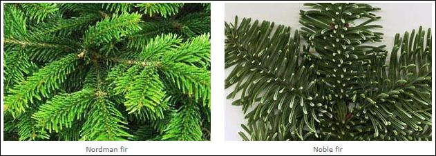 Nordman and Noble fir